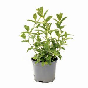 mięta variegata p12