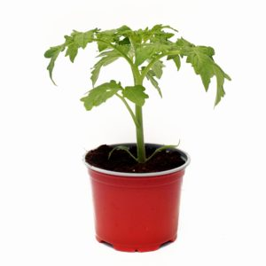 pomidorek